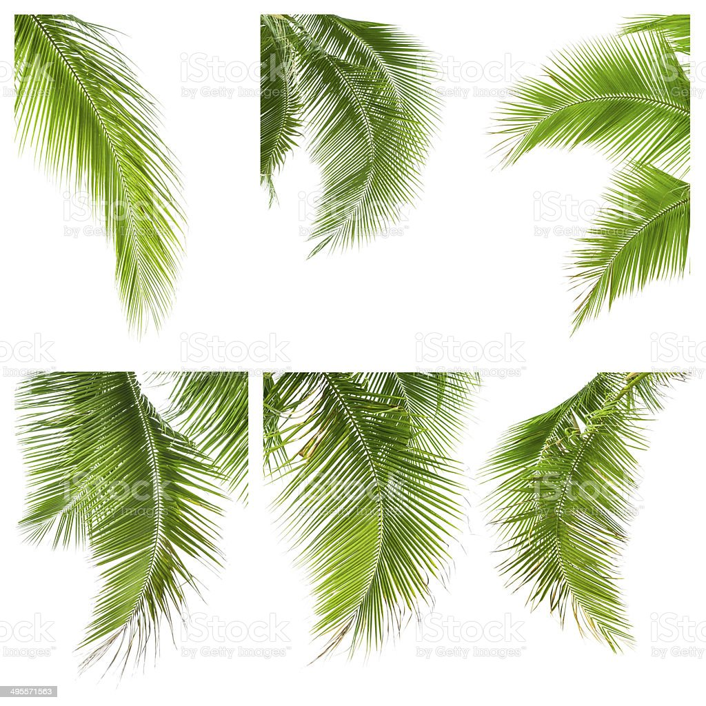 collection of coconut leaves isolated on white background stock photo