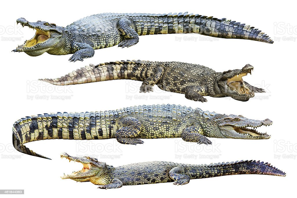 Collection of crocodile. stock photo