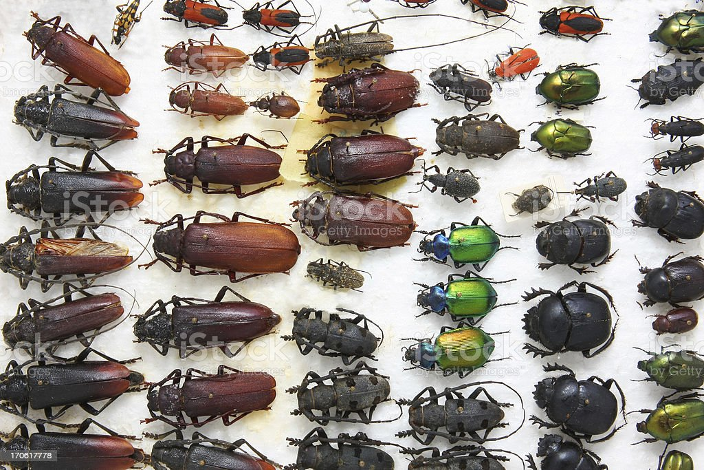 Collection of diffrent beetles stock photo