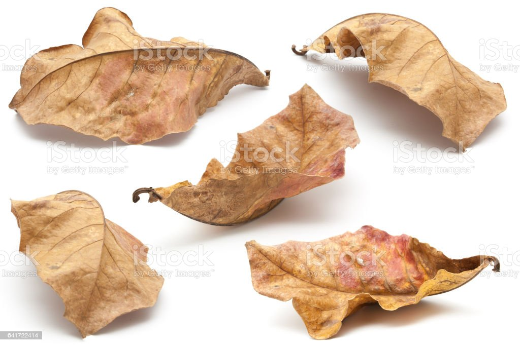 Collection of dry leaf closeup on the white stock photo