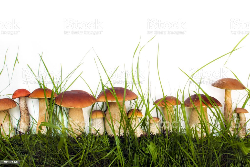 Collection of edible wild mushrooms . stock photo
