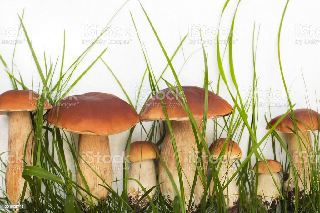 Collection of edible wild mushrooms. stock photo