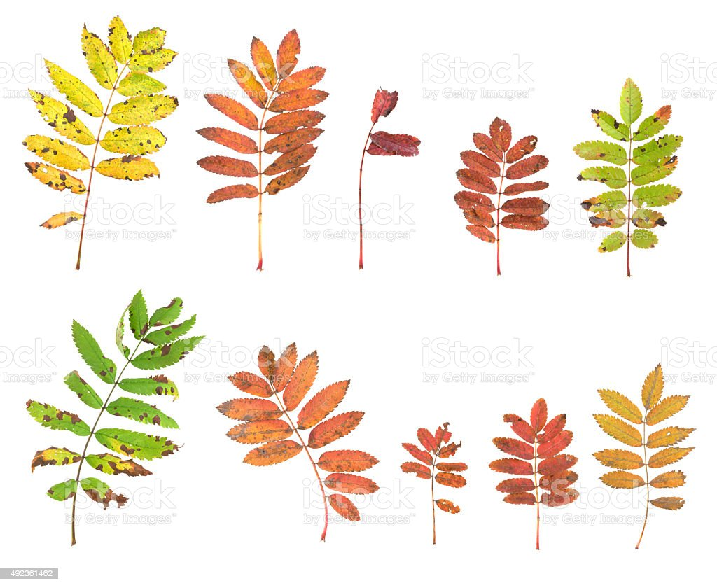 Collection of european ash, Fraxinus excelsior autumn leafs isolated stock photo