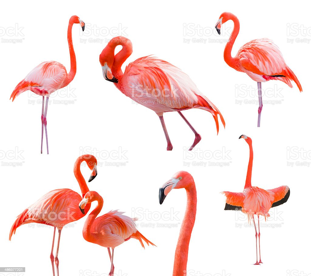 Collection of Flamingos Isolated on White stock photo