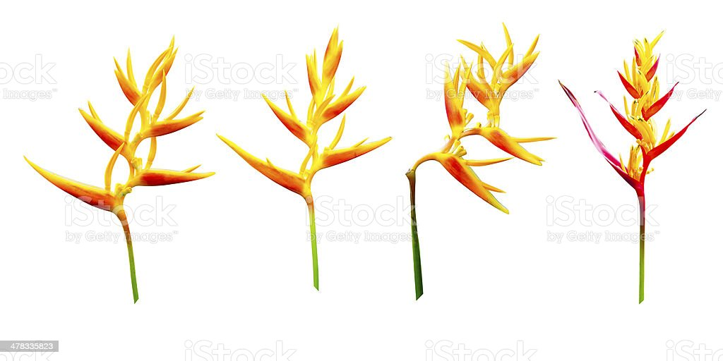 collection of Heliconia flower stock photo