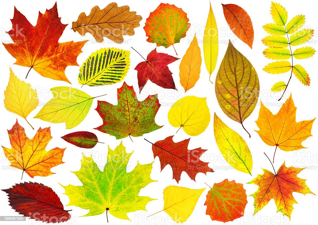 Collection of isolated autumn leaves stock photo