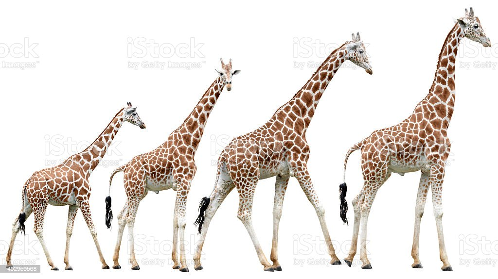 Collection of isolated giraffes in various poses stock photo