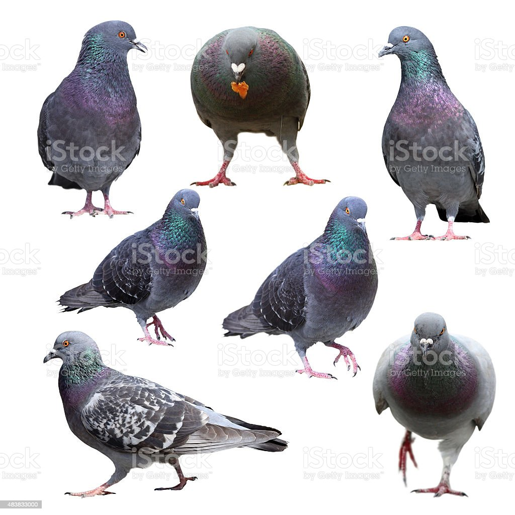 collection of isolated pigeons stock photo