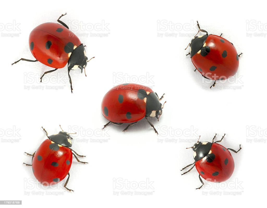 Collection of ladybugs stock photo
