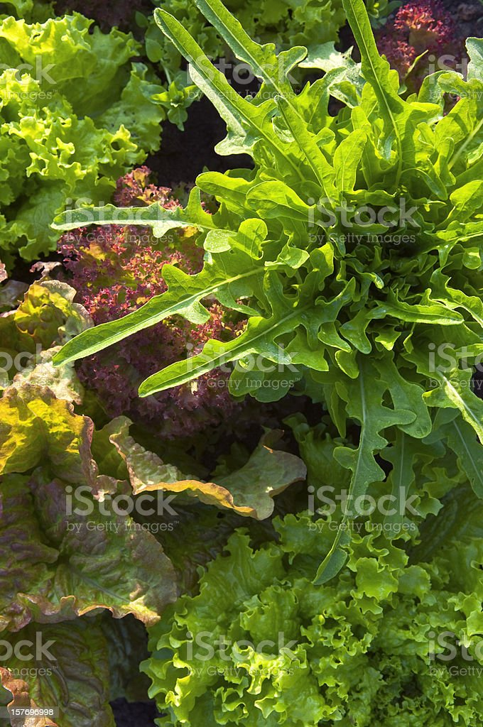 Collection of lettuces in allotment setting. royalty-free stock photo