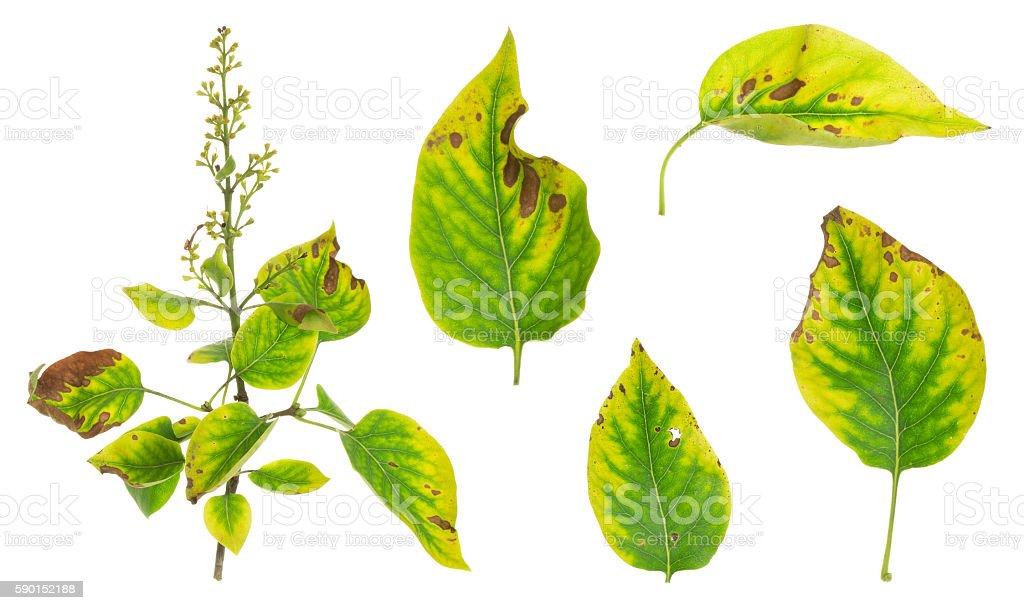Collection of lilac, Syringa vulgaris twig and leafs stock photo