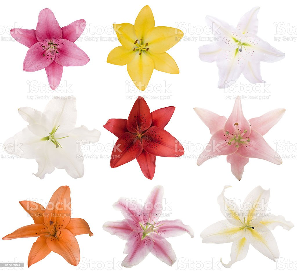 Collection of Lilys (XXL) royalty-free stock photo