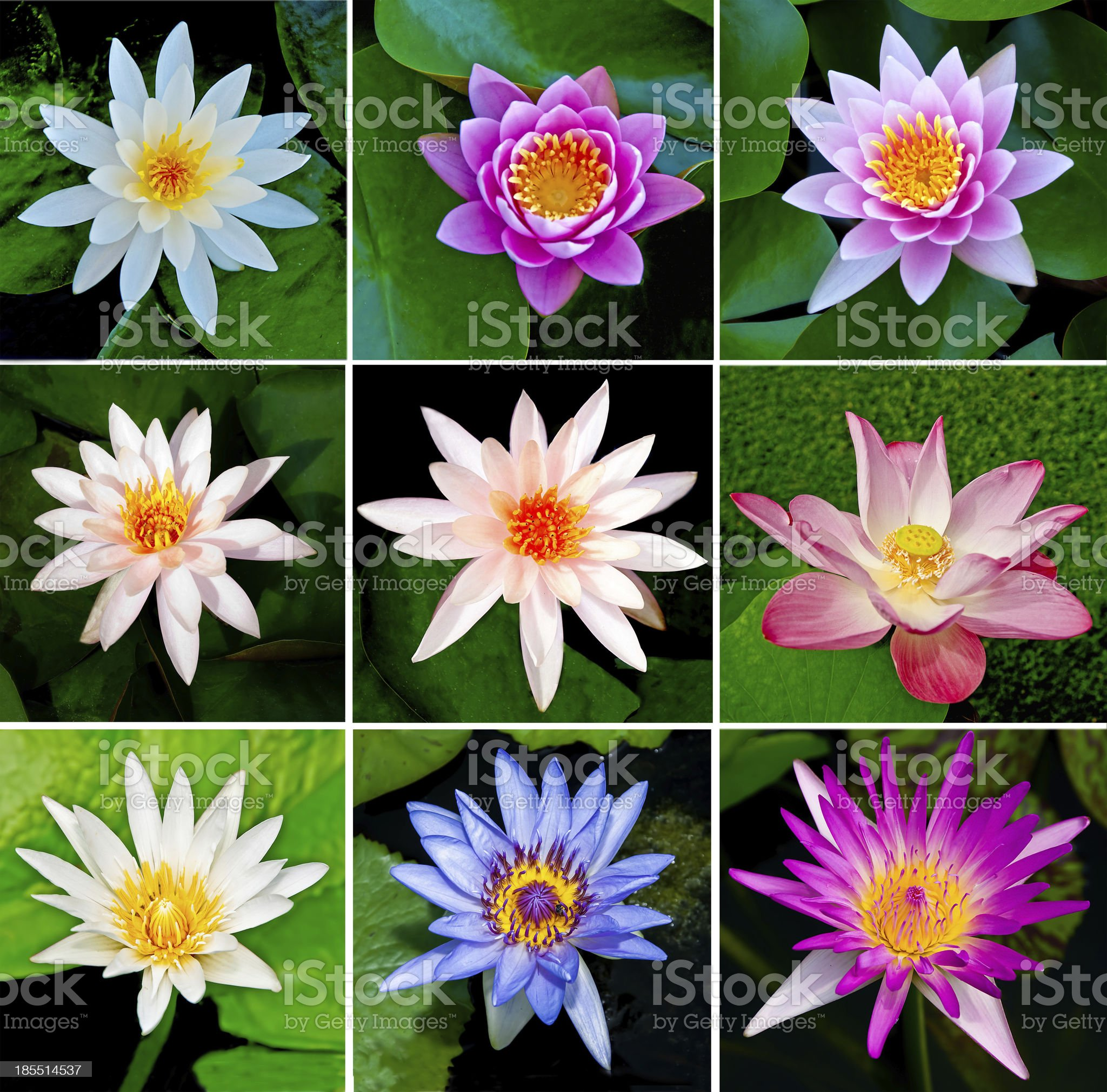 Collection of lotus royalty-free stock photo