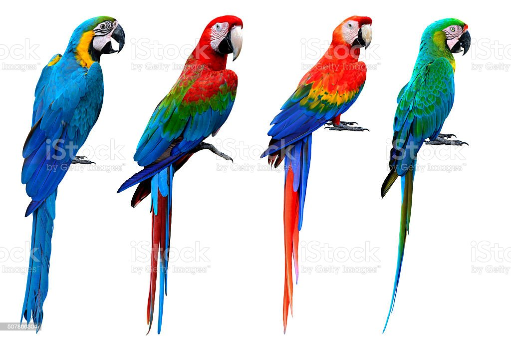 Collection of macaw birds, blue and gold, green-winged, scarlet stock photo