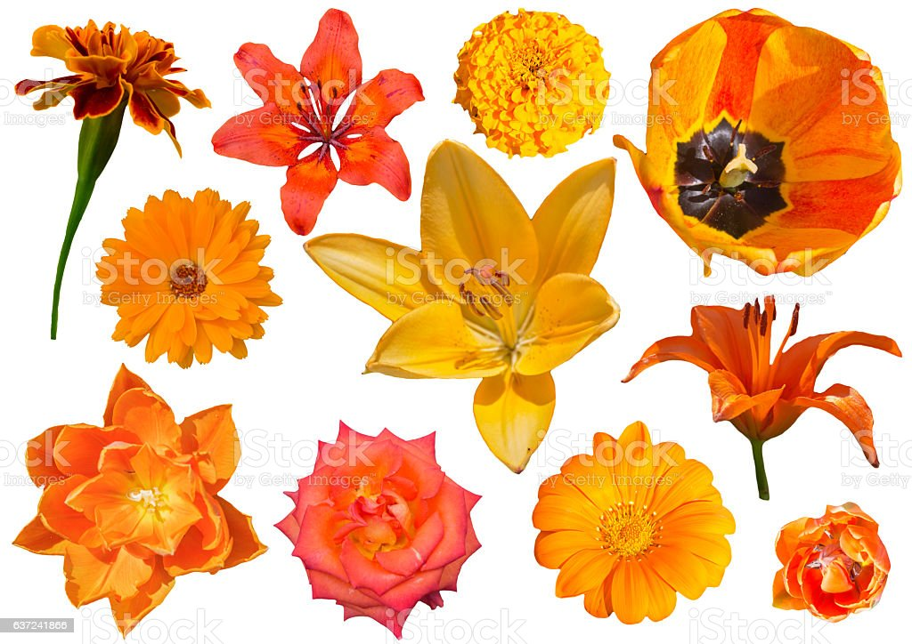 Collection of orang flowers isolated on white background stock photo