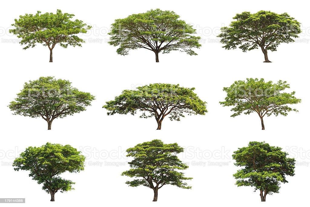 Collection of Rain trees (Albizia saman) stock photo