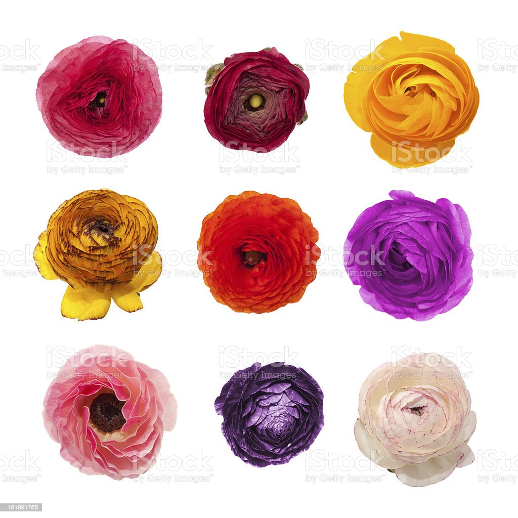 Collection of ranunculus flowers in various type and color stock photo
