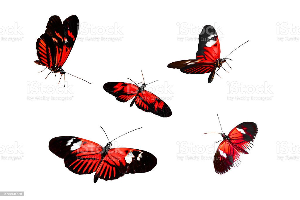 Collection of Red Postman Butterfly or Common Postman stock photo
