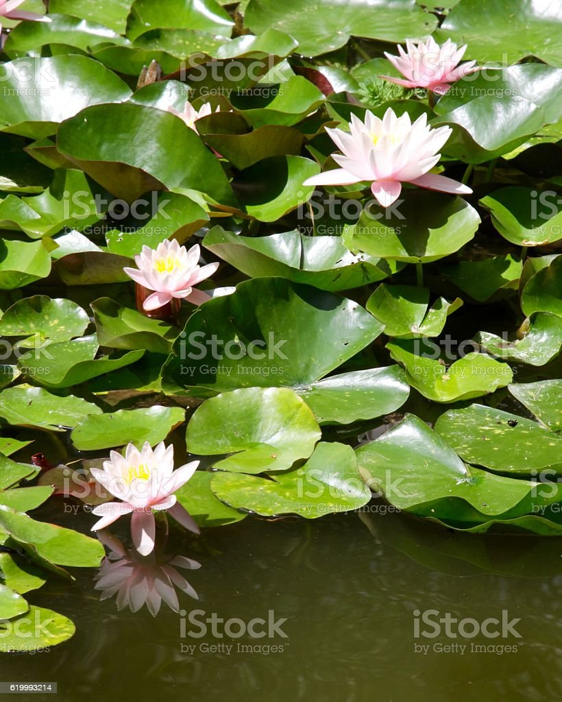 Collection Of Water Lilies On The Pond stock photo