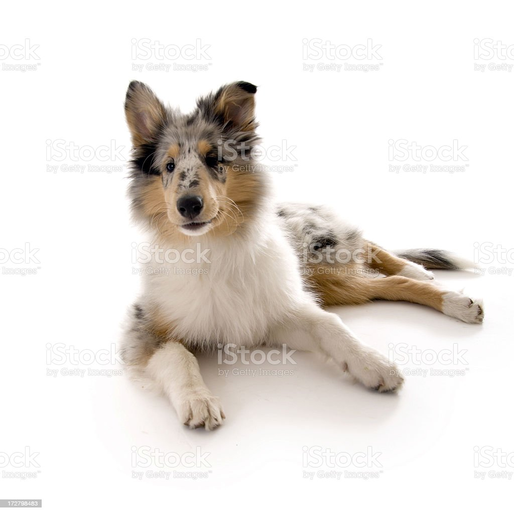 Collie Baby royalty-free stock photo