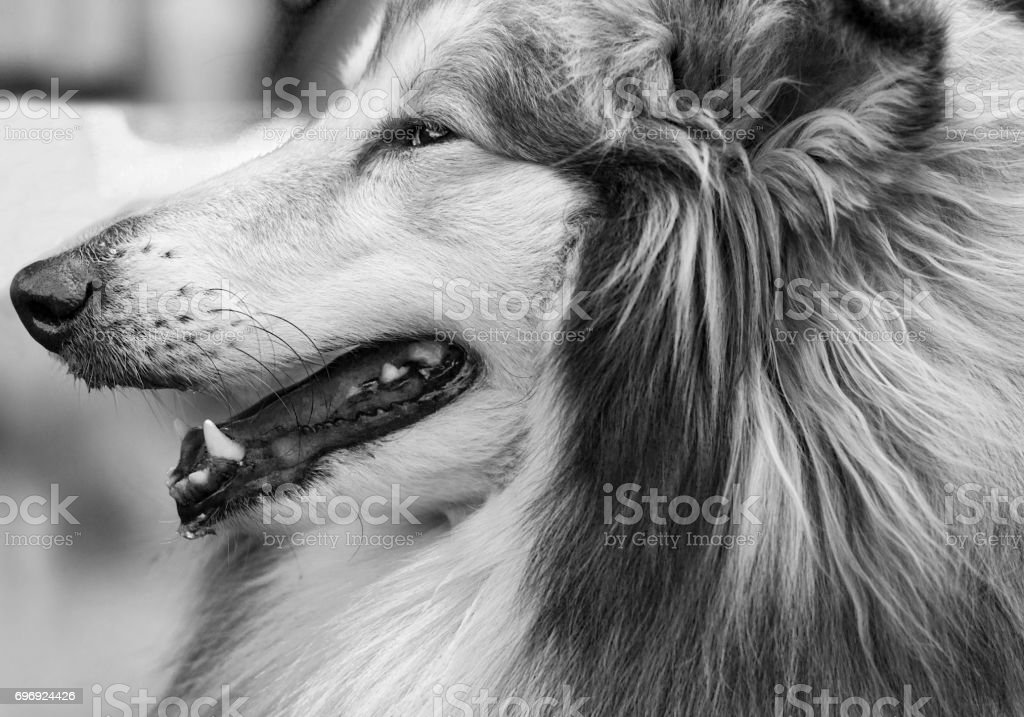 collie. Dog collie. The collie is a distinctive type of herding dog, including many related landraces and formal breeds. Portrait of purebred dog Rough Collie. stock photo
