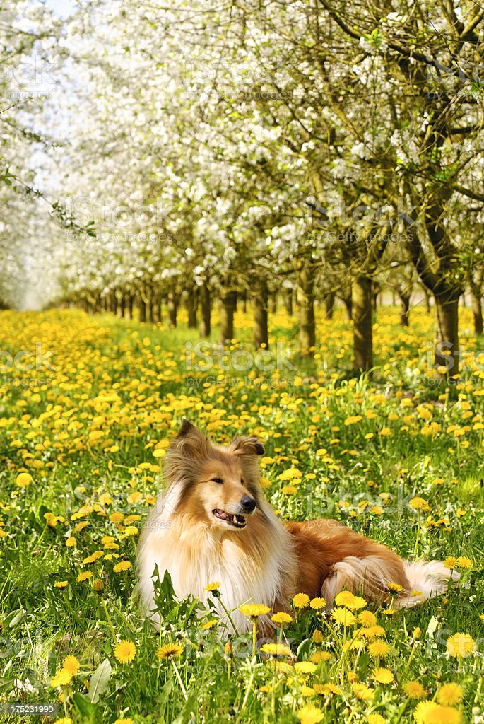 Collie dog in the spring stock photo