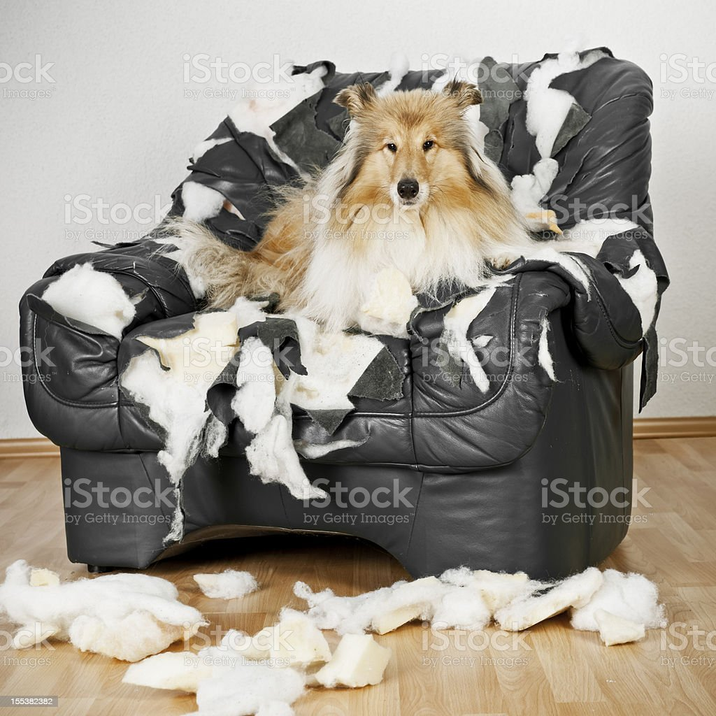 Collie Dog is on a leather chair stock photo