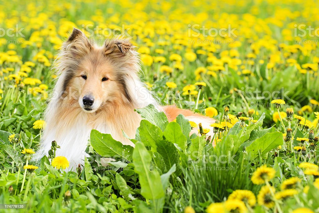 Collie dog lies in a spring meadow royalty-free stock photo