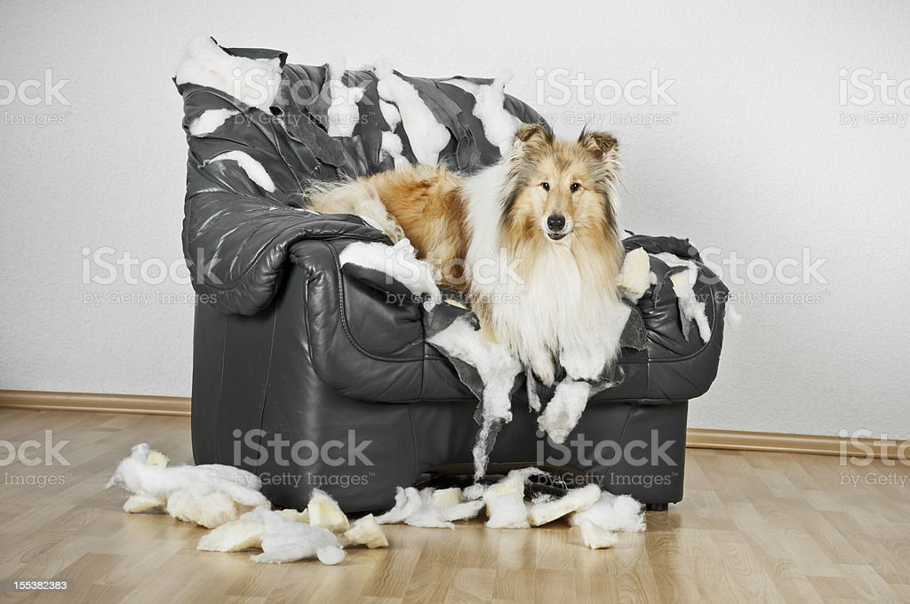Collie dog lying on a ruined leather chair. stock photo
