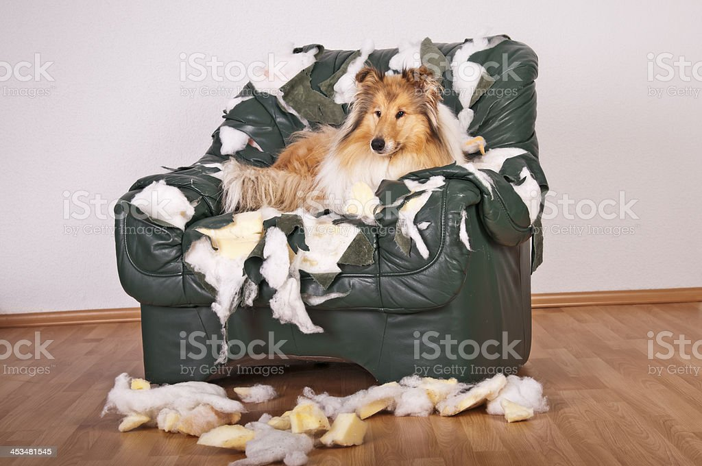 Collie dog lying on destroyed leather armchair. royalty-free stock photo