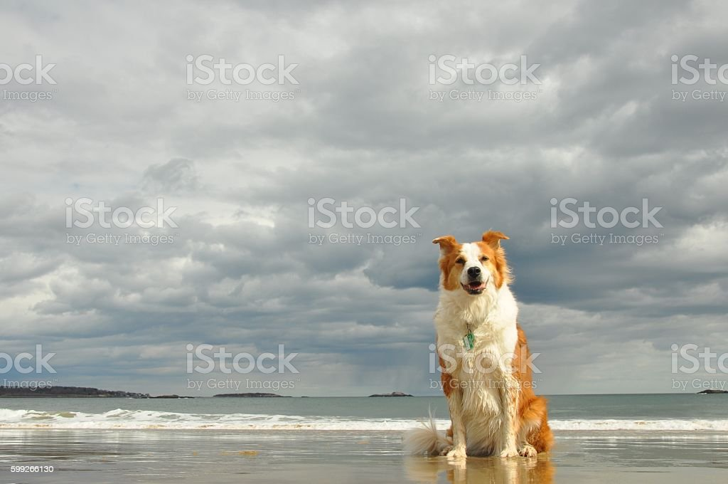 collie dog on beach with approaching storm clouds stock photo