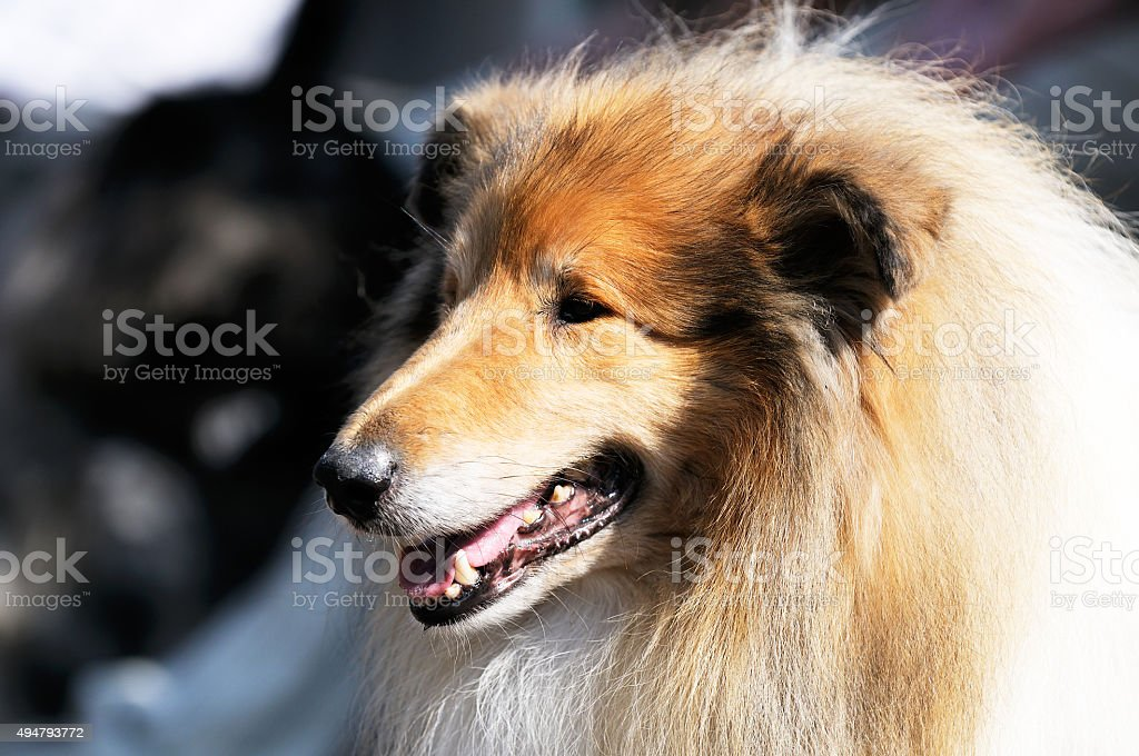 Collie dog portrait stock photo
