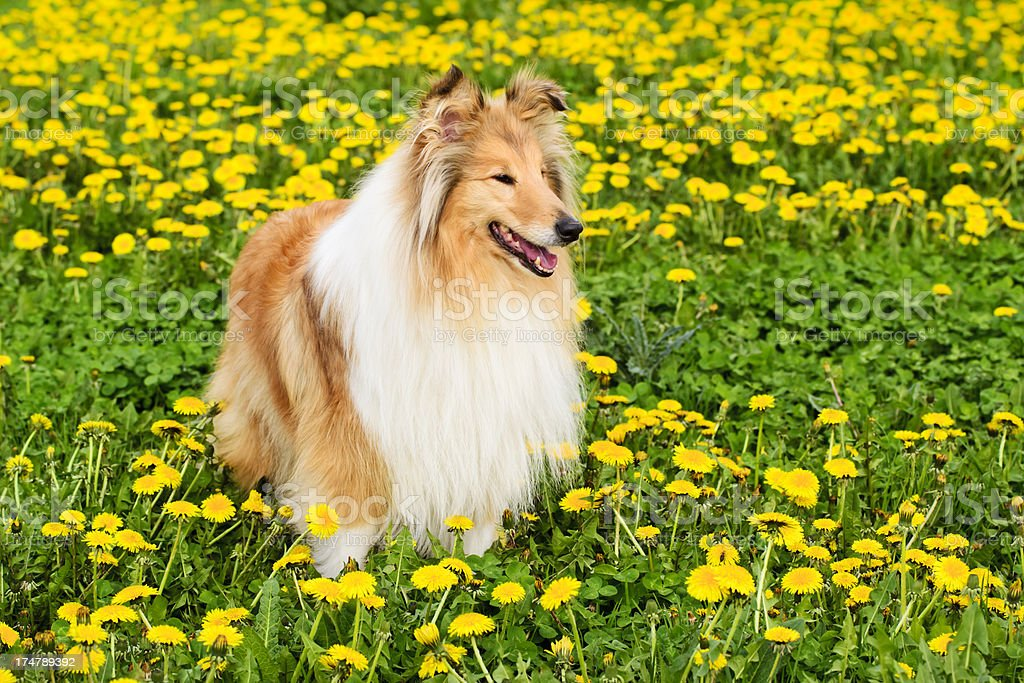 Collie dog stands in a spring meadow stock photo
