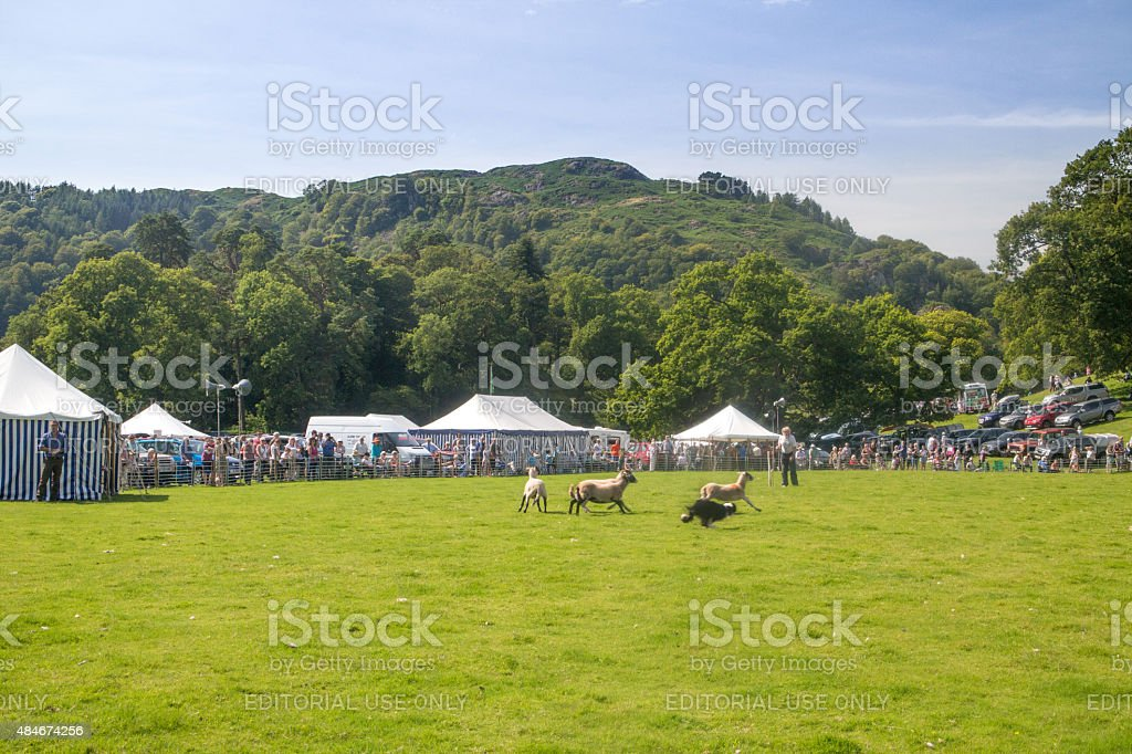 Collie dog taking part in sheep dog trials near Ambleside stock photo