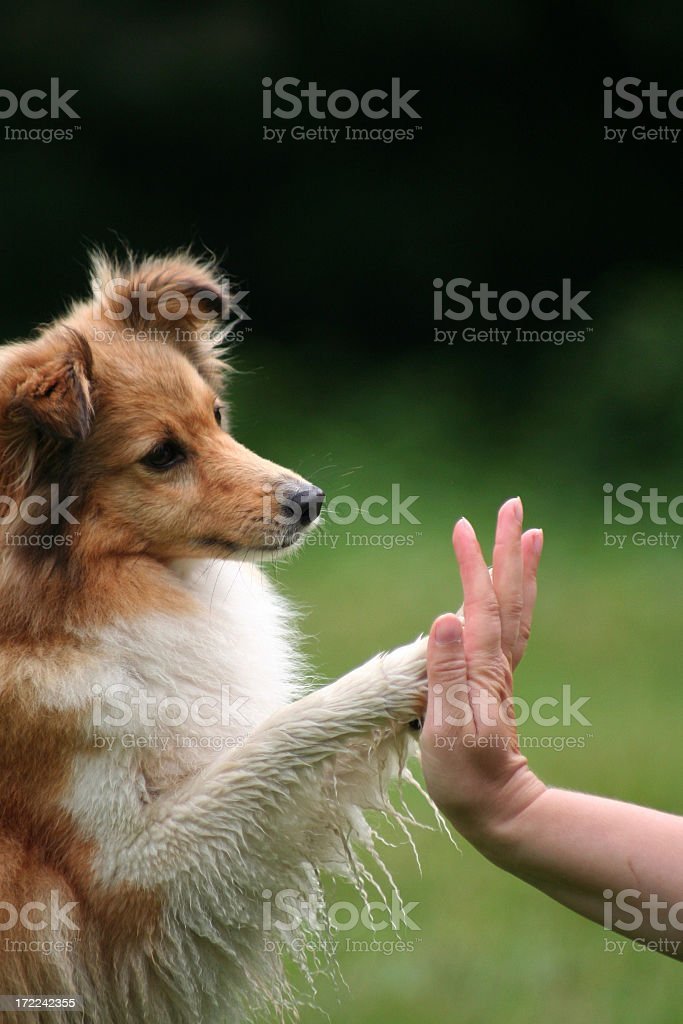 Collie giving his owner a high five stock photo