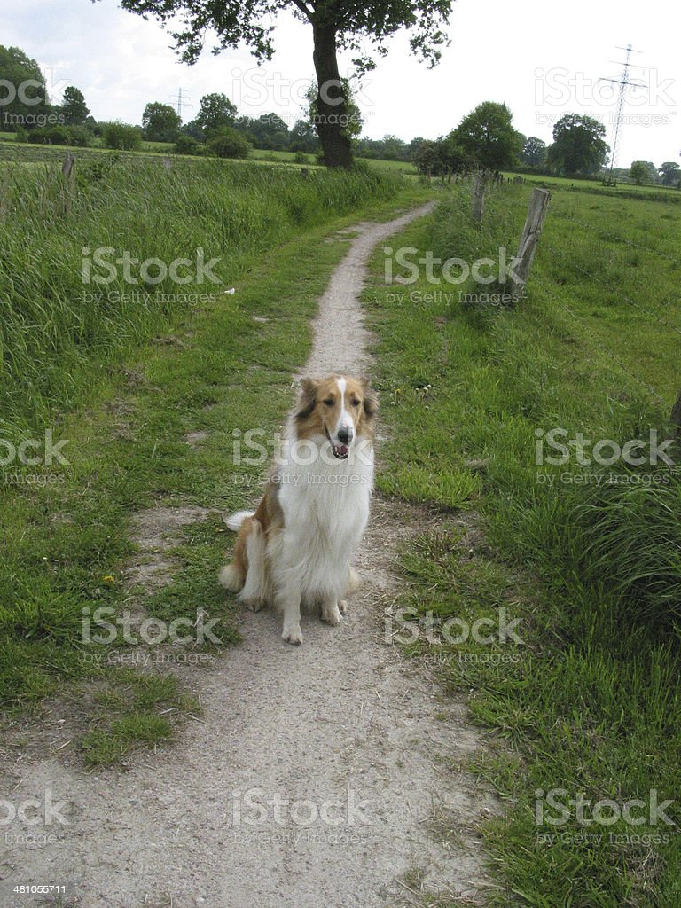 Collie in a landscape stock photo