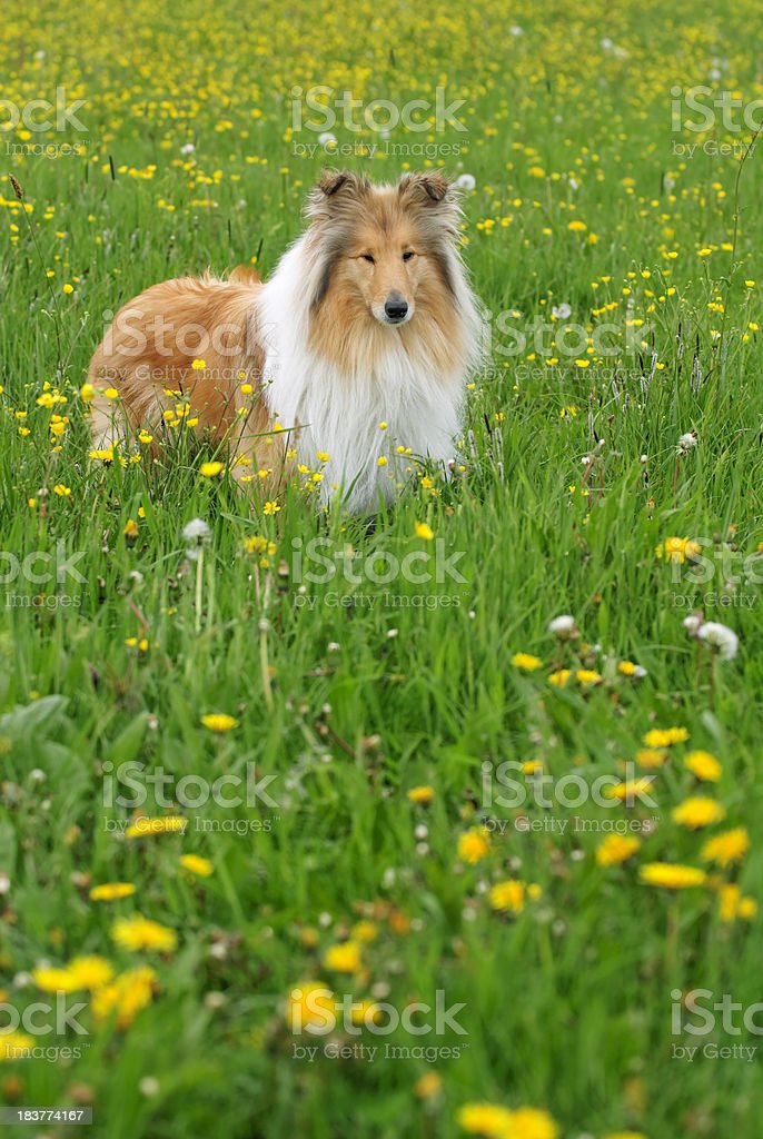 Collie in spring stock photo