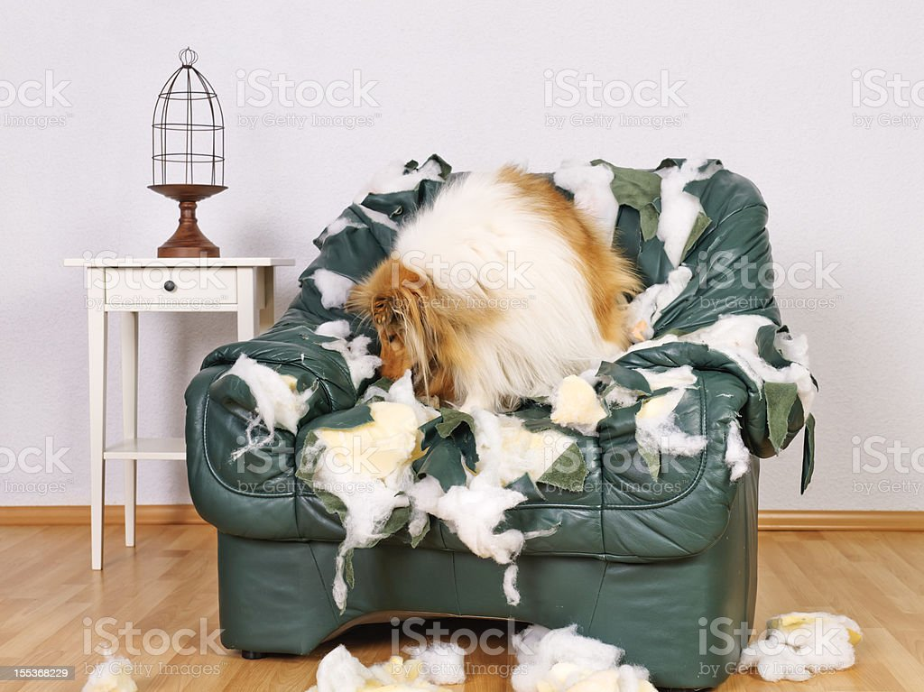 collie in tattered leather chair stock photo