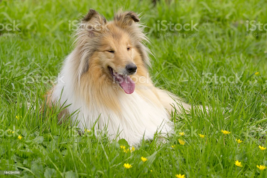 Collie in the grass royalty-free stock photo