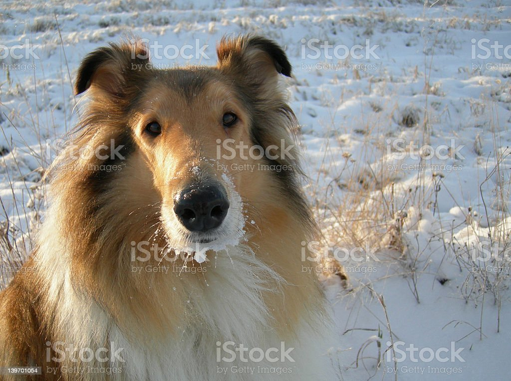 collie royalty-free stock photo