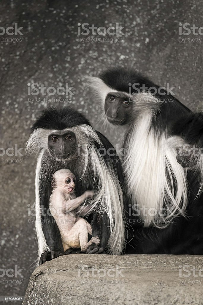 Colobus monkey family portrait royalty-free stock photo