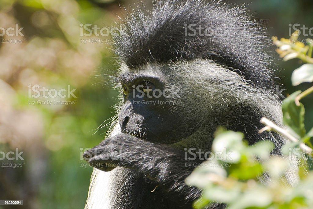 Colobus Monkeya Close Up, Kenya stock photo