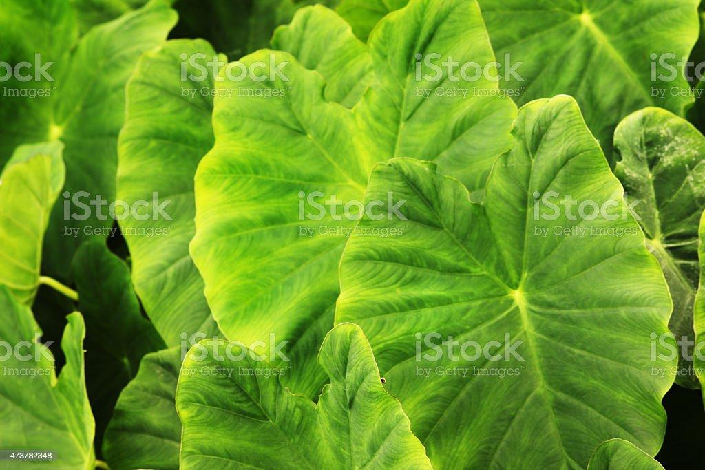 Colocasio Elephant Ear Plant Leaf stock photo