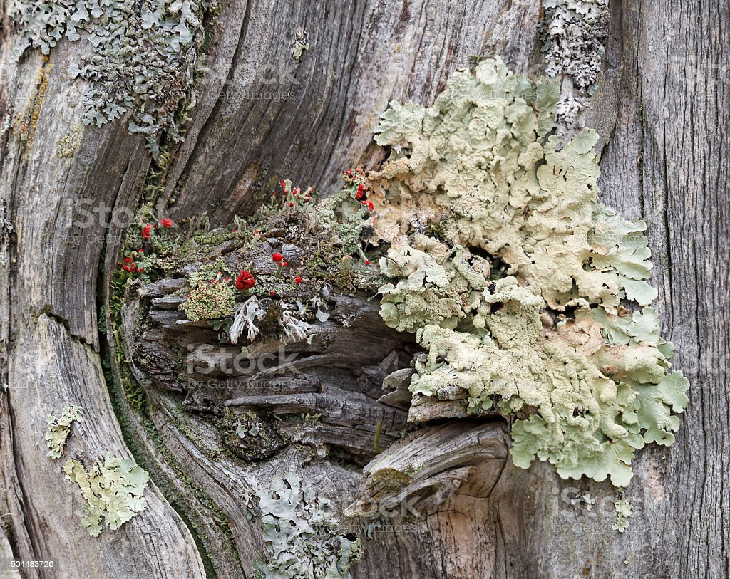 Coloful Green Lichens on a Old Worn Fence Post stock photo