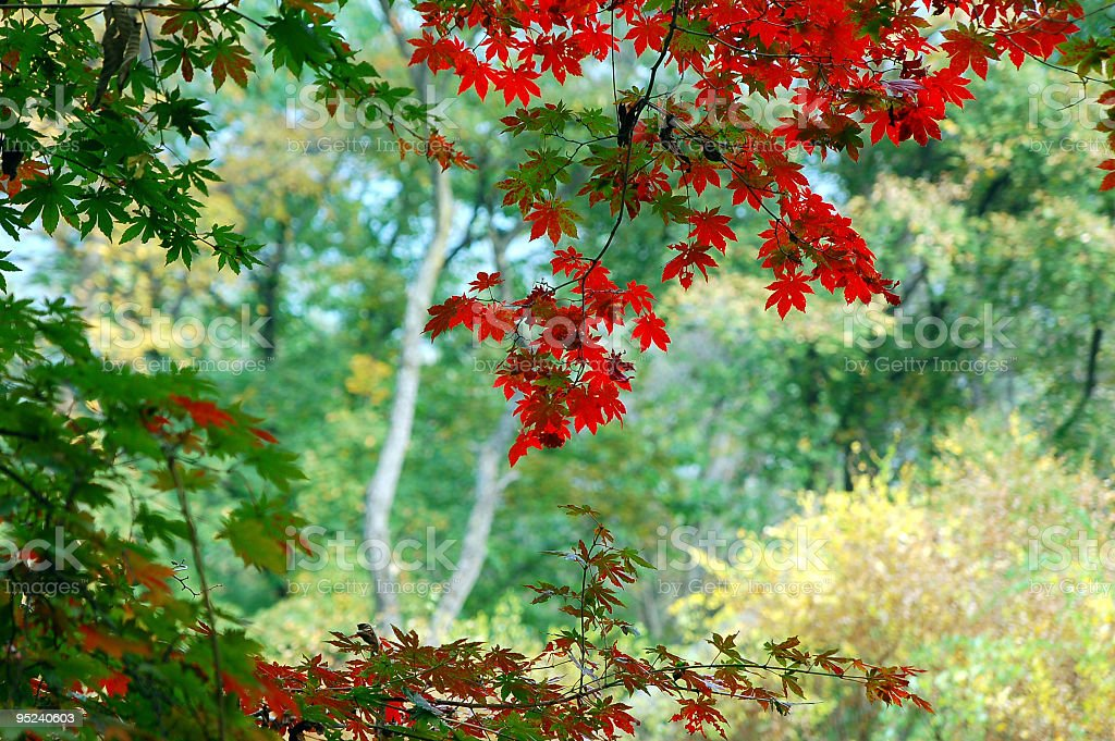 Coloful Maple Leaves royalty-free stock photo
