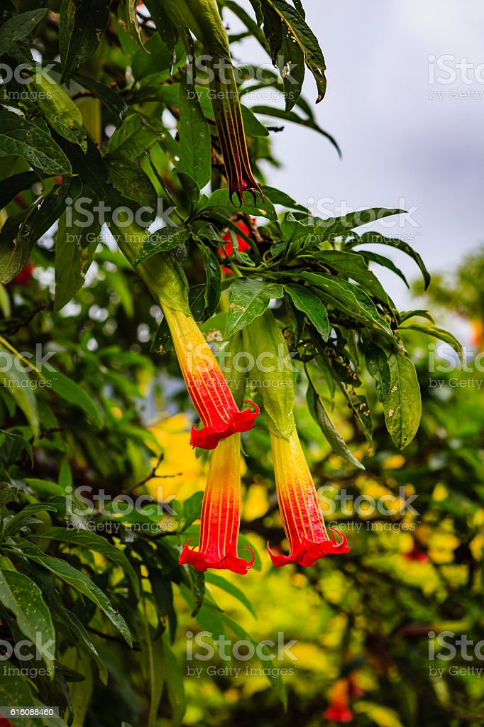 Colombia, South America - Red Angel's Trumpet stock photo