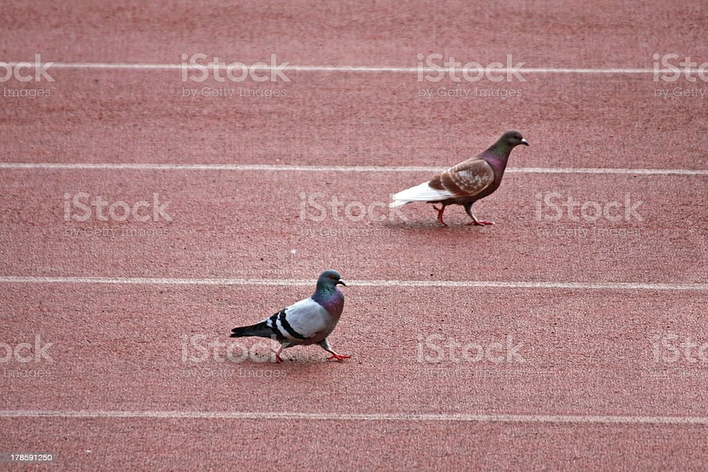 colombo and pigeon during a track race royalty-free stock photo
