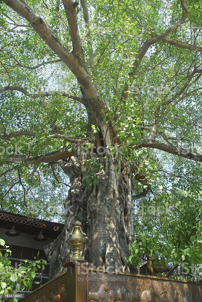 Colombo, Sri Lanka: Gangaramaya Temple - bodhi tree stock photo