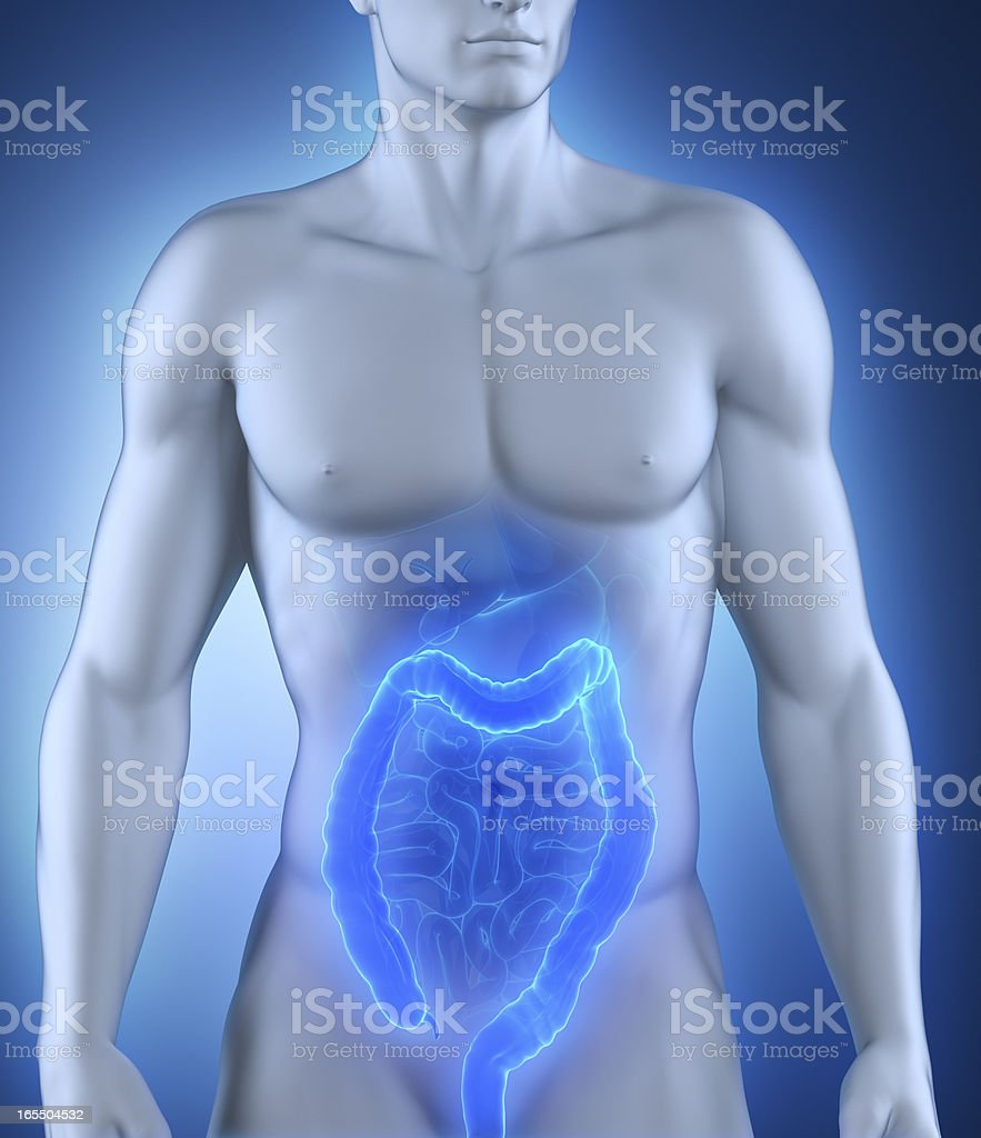 Colon organ anatomy royalty-free stock photo