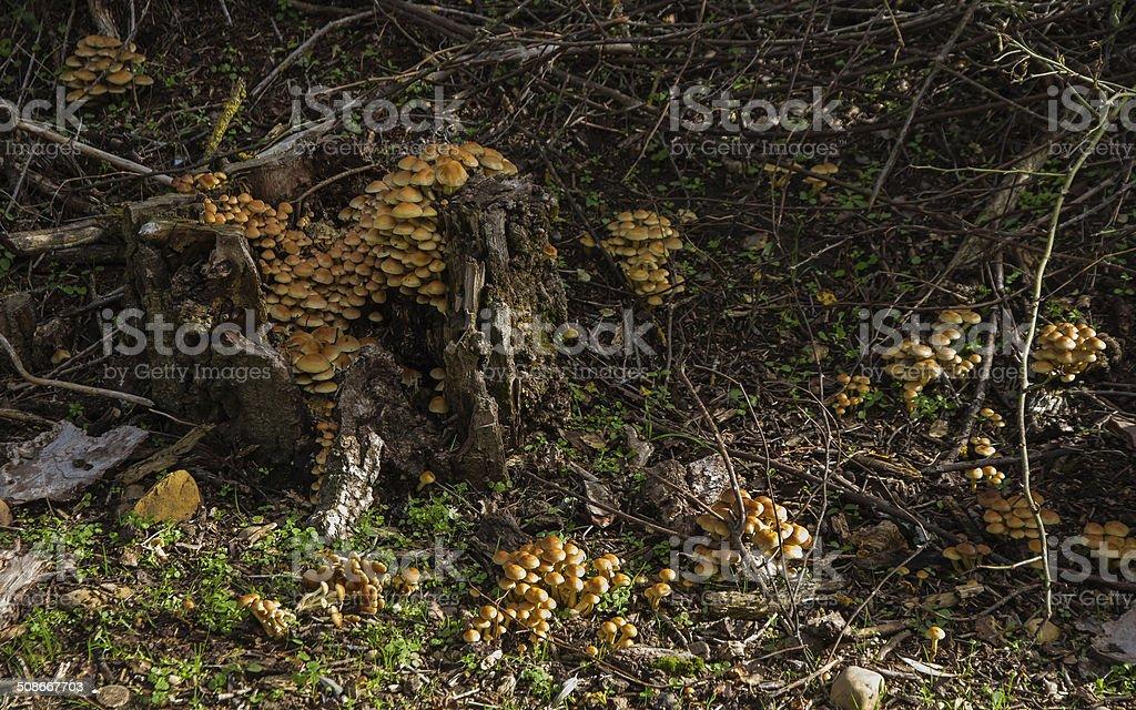 Colonia Poisonous Mushrooms - Colonia de Setas Venenosas stock photo